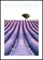 Lavender fiels tree Juliste