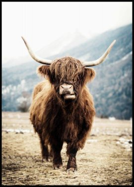 Highland Cow Juliste