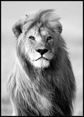 Majestic Lion Juliste