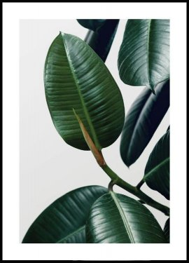 Rubber Plant Leaves Juliste