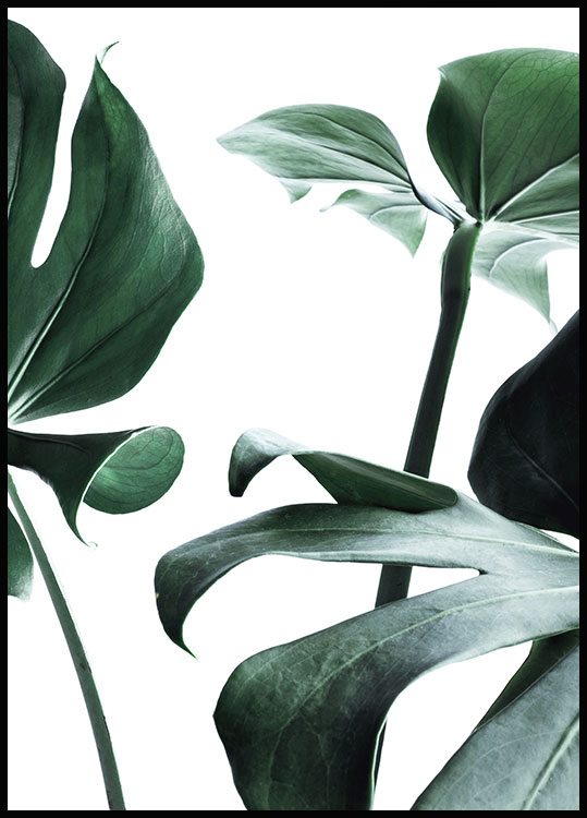 Monstera no. 1 Juliste